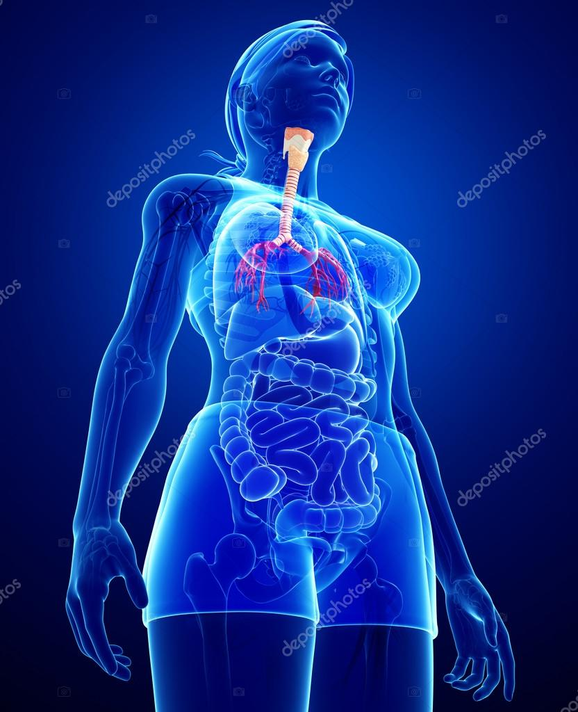 anatomía femenina garganta — Foto de stock © pixdesign123 #55572583