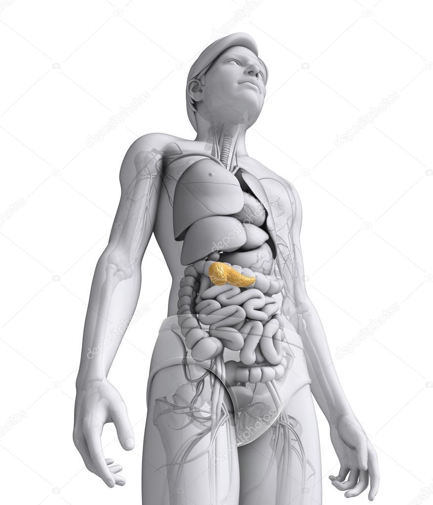 männlichen Pankreas Anatomie — Stockfoto © pixdesign123 #55575815