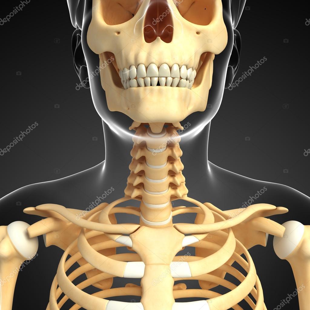 Arte de esqueleto de cuello — Fotos de Stock © pixdesign123 #55579057