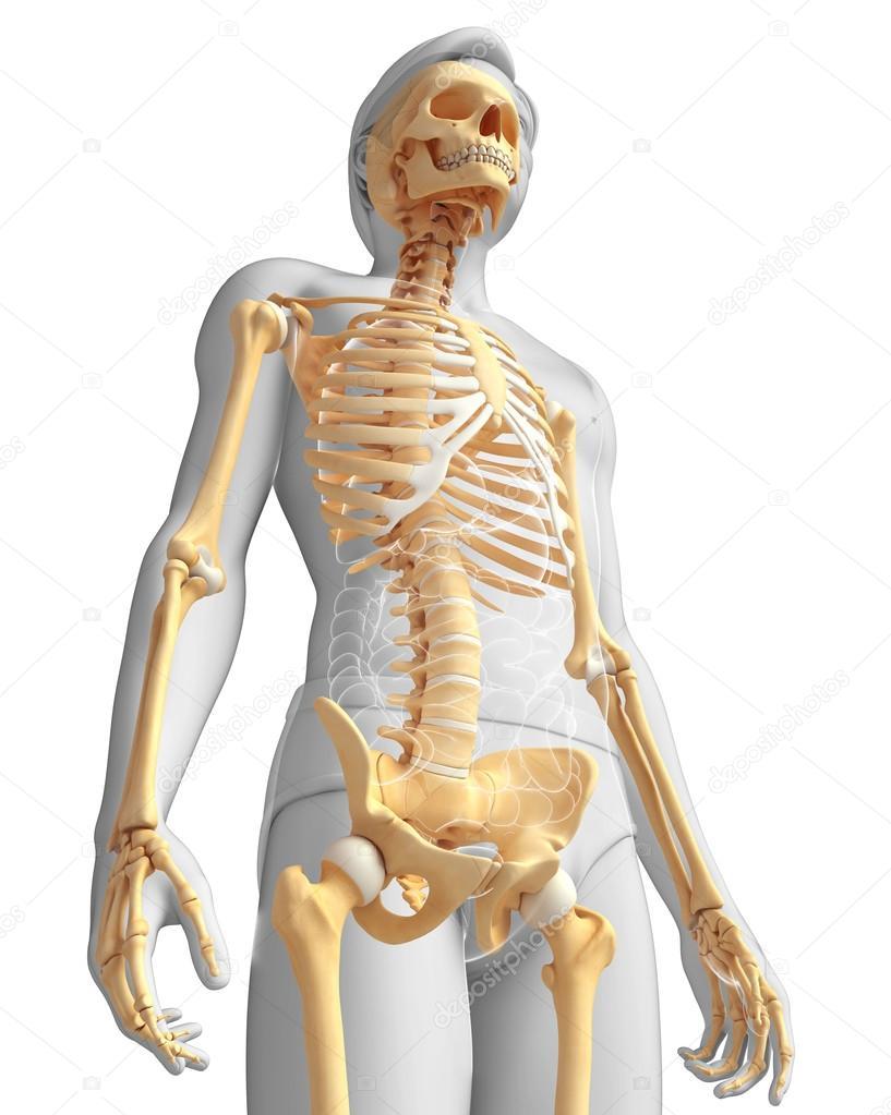 Human Skeleton Side View Stock Photo Pixdesign123 55581433