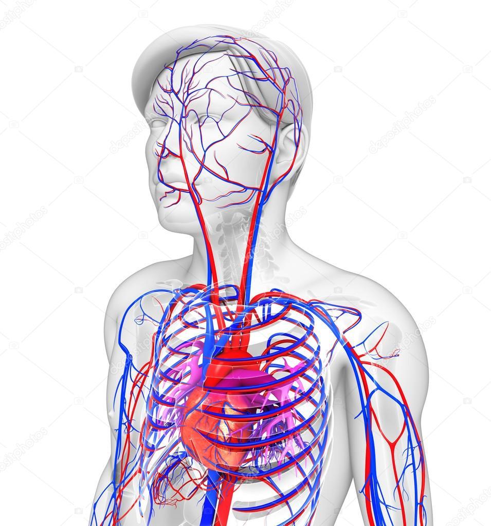 männliche Herz-Kreislauf-system — Stockfoto © pixdesign123 #55583267