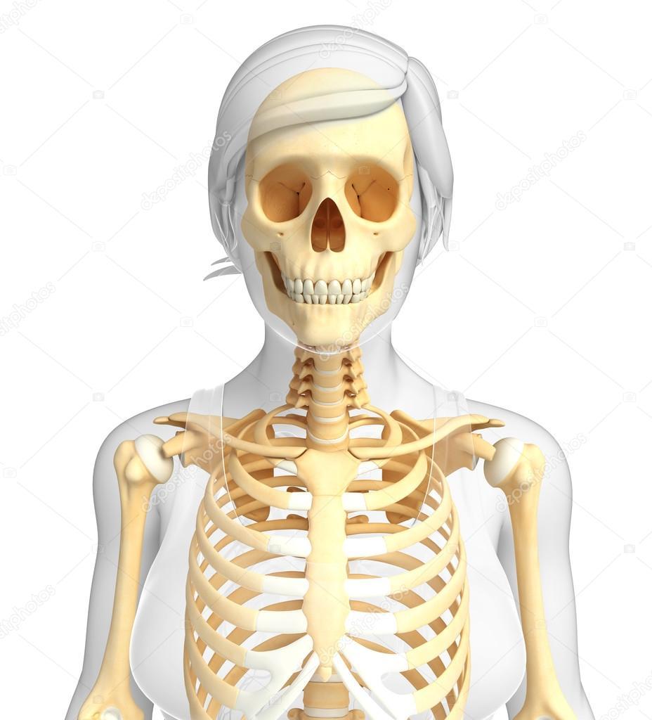 Menschliches Skelett Anatomie — Stockfoto © pixdesign123 #55585041