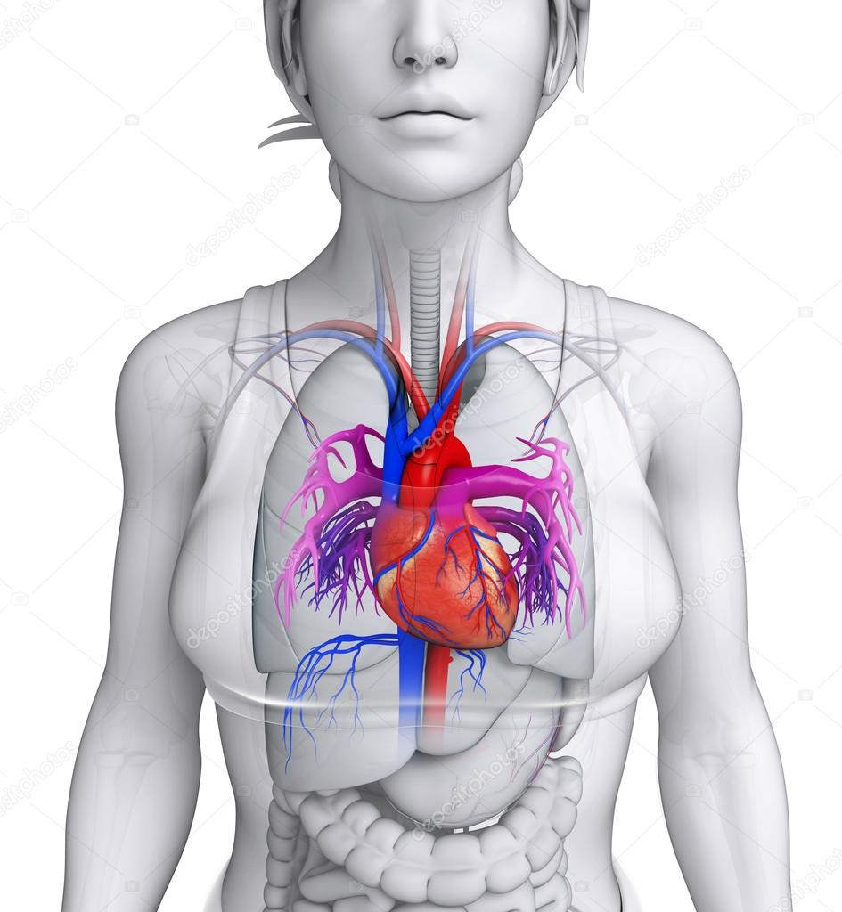 weibliche Herz Anatomie — Stockfoto © pixdesign123 #55585207