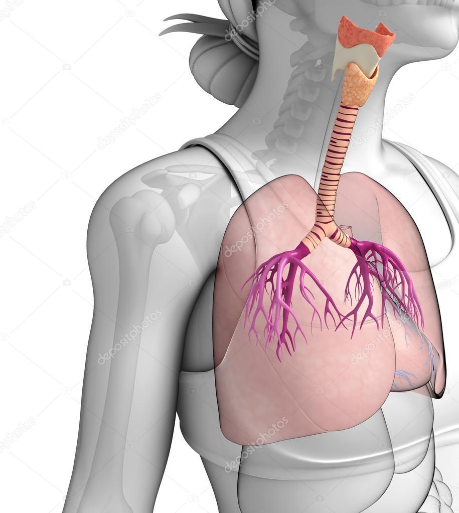 männliche Lunge Anatomie — Stockfoto © pixdesign123 #55585321