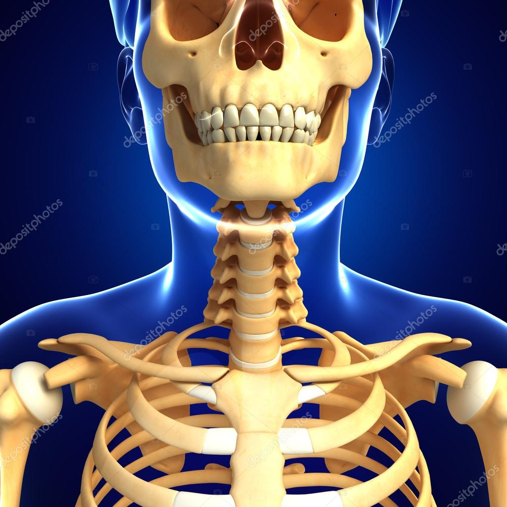 Arte de esqueleto de cuello — Foto de stock © pixdesign123 #55585347