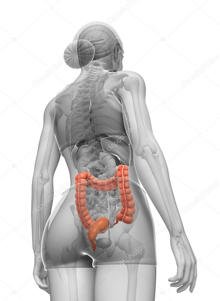 Female large intestine anatomy — Stock Photo © pixdesign123 #55585391
