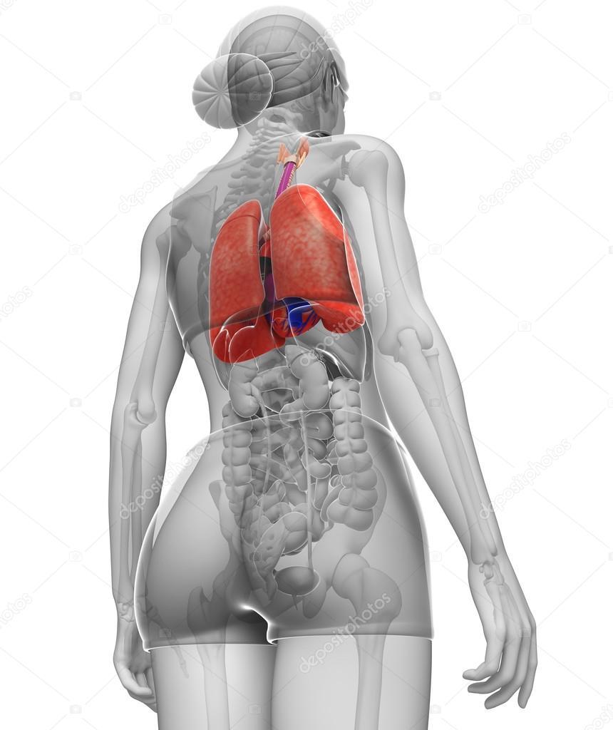 Female Lungs Anatomy Stock Photo Pixdesign123 55587229