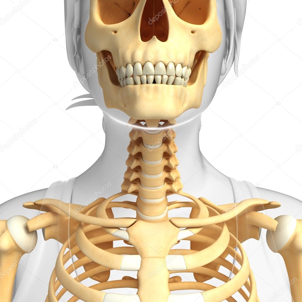Arte de esqueleto de cuello — Fotos de Stock © pixdesign123 #55587739