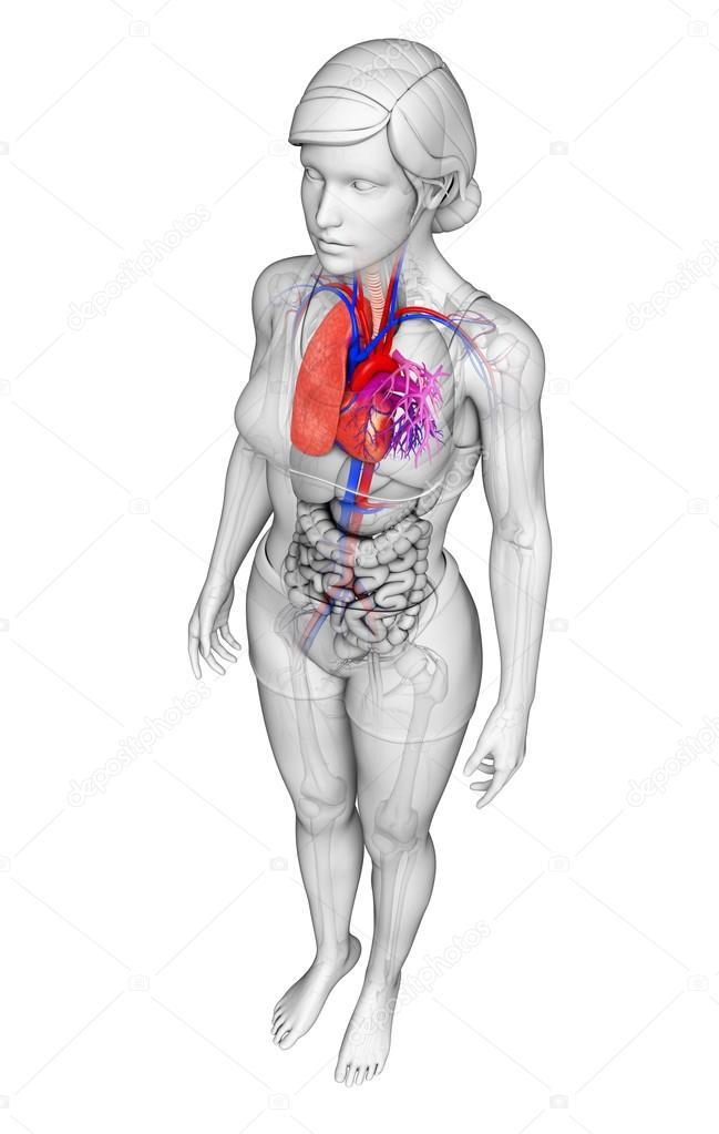 Anatomie der menschlichen Lunge — Stockfoto © pixdesign123 #55595473