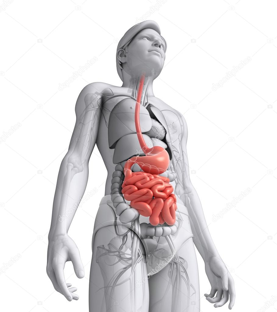 Small Intestine Anatomy Of Male Stock Photo Pixdesign123 55597737