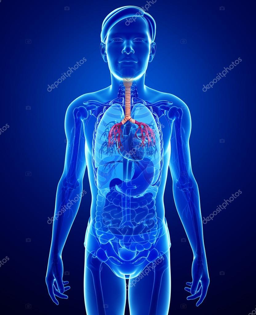 Anatomía masculina garganta — Fotos de Stock © pixdesign123 #55599367