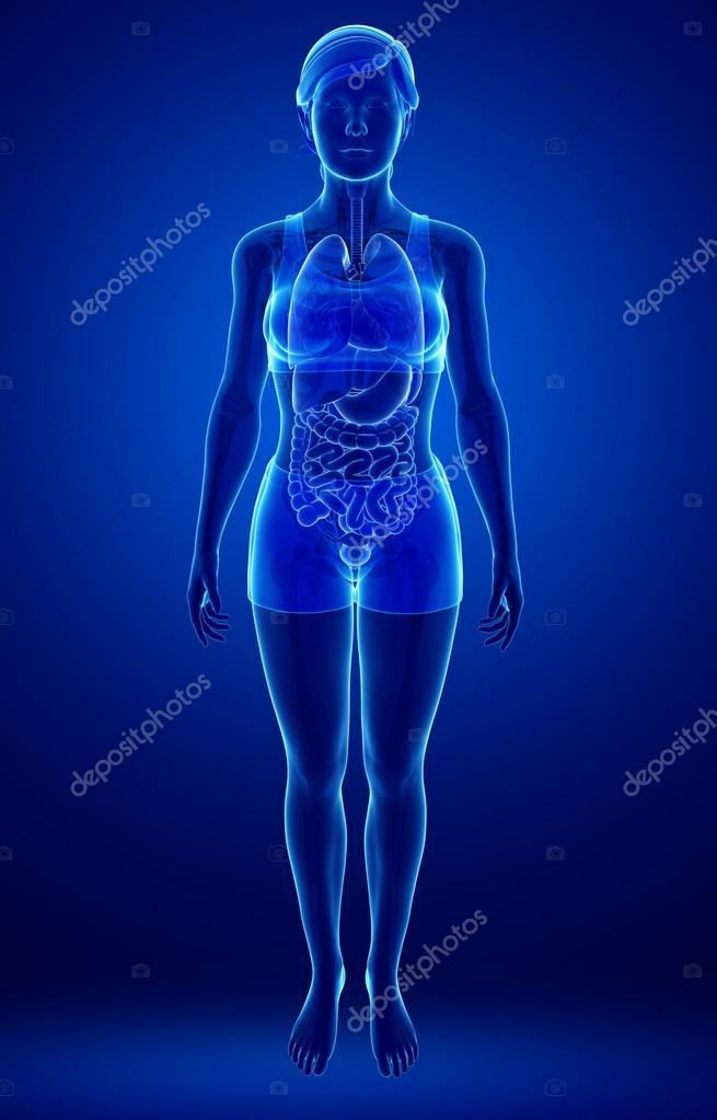 Female Urinary System Stock Photo Pixdesign123 55599549