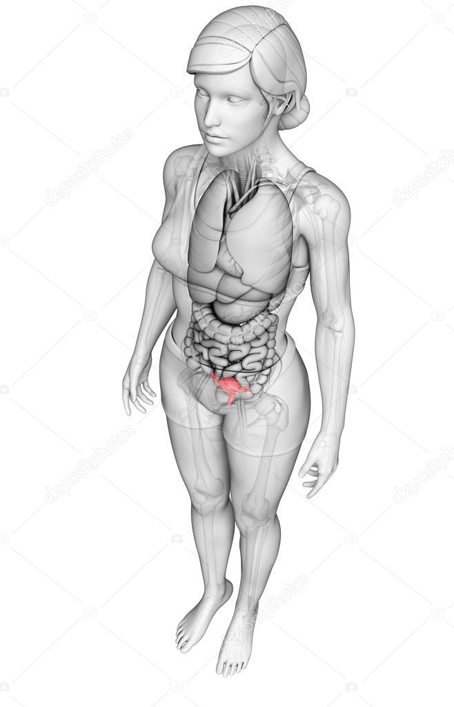 Anatomía del útero femenino — Fotos de Stock © pixdesign123 #55599657