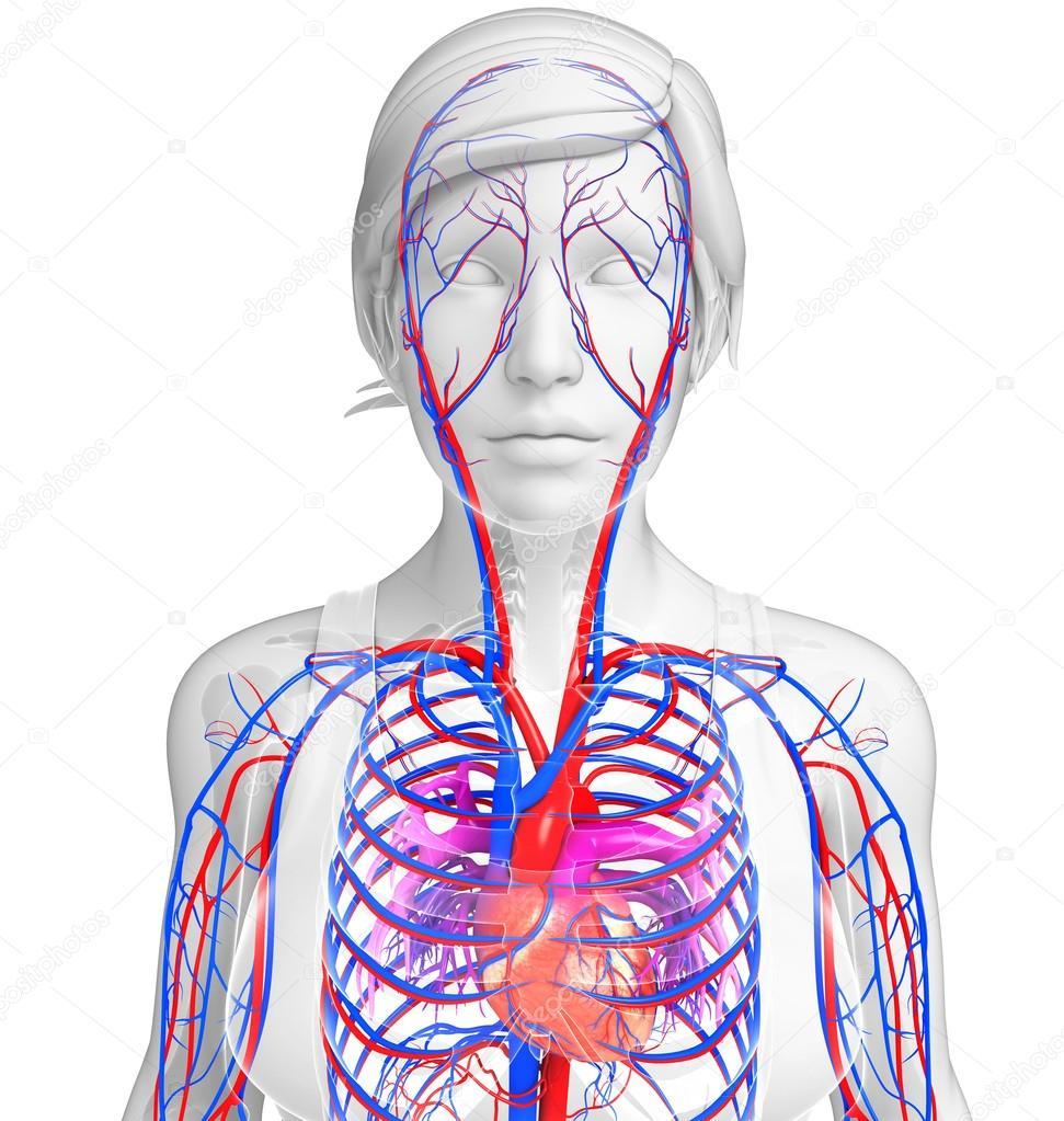weibliche Herz Kreislauf — Stockfoto © pixdesign123 #55601243