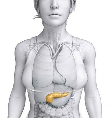 Female pancreas anatomy