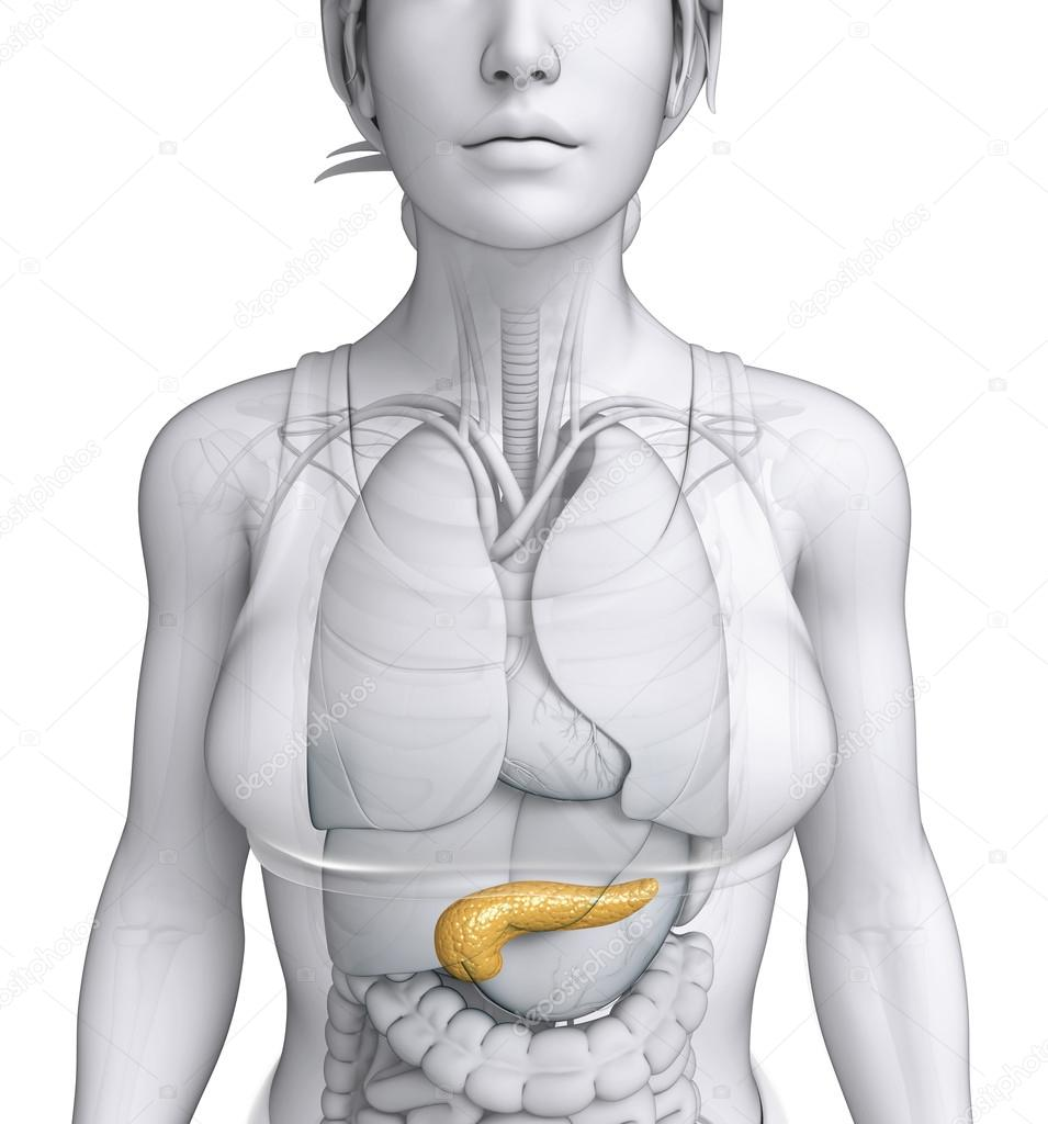 Female pancreas anatomy — Stock Photo © pixdesign123 #55647989