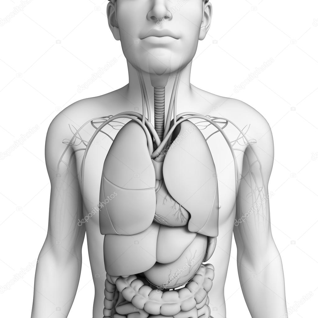 Digestive system of male anatomy — Stock Photo © pixdesign123 #55649039