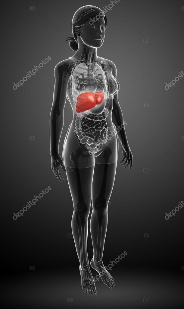 weibliche Anatomie der Leber — Stockfoto © pixdesign123 #55649413