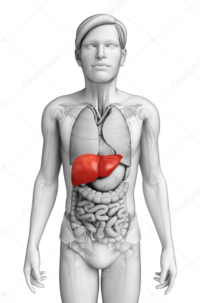 Anatomía masculina del hígado — Foto de stock © pixdesign123 #55650031