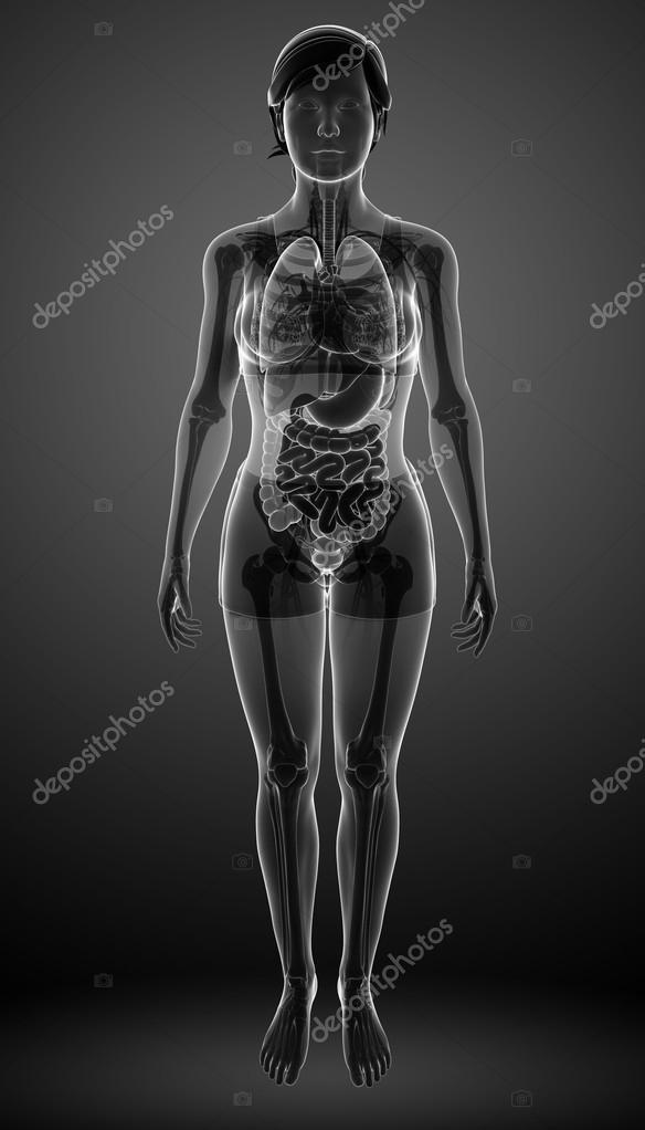 Digestive system with female anatomy — Stock Photo © pixdesign123 ...