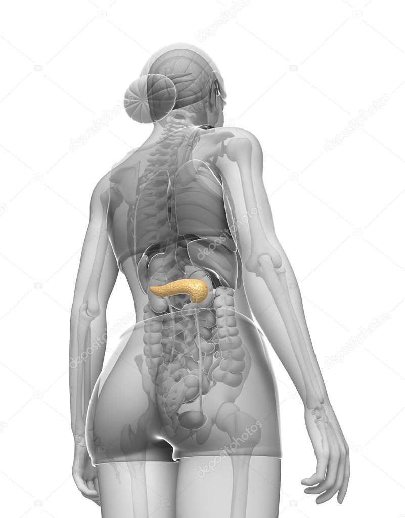 weibliche Bauchspeicheldrüse Anatomie — Stockfoto © pixdesign123 ...