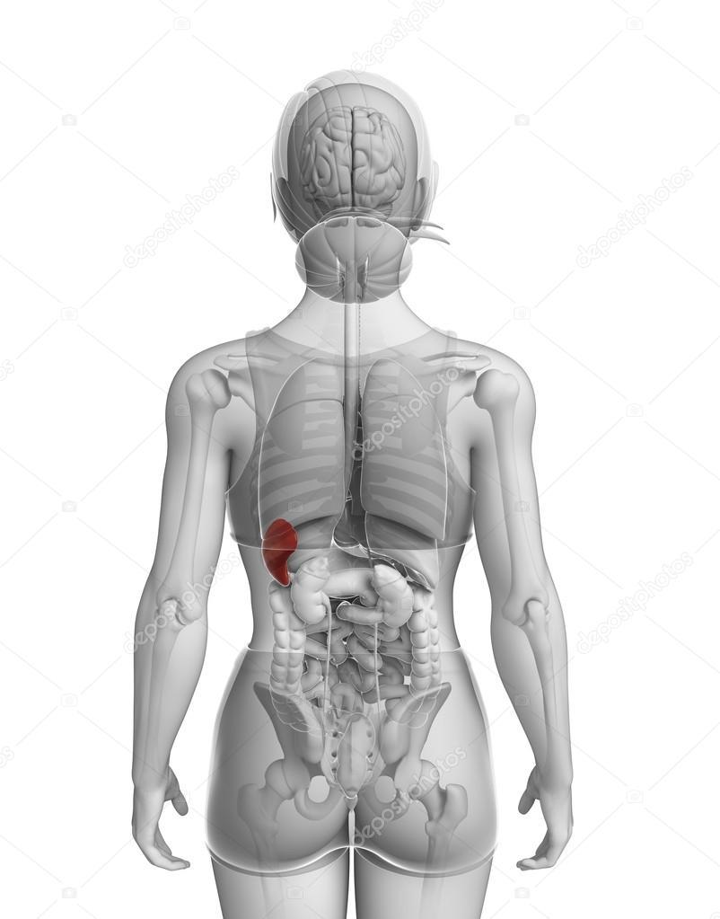 Frau Milz Anatomie — Stockfoto © pixdesign123 #55651953