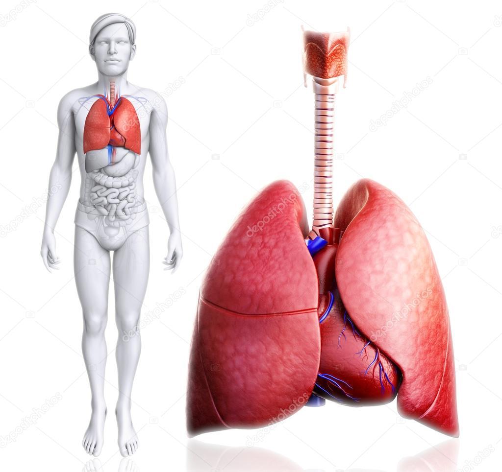 Anatomie der menschlichen Lunge — Stockfoto © pixdesign123 #55652635