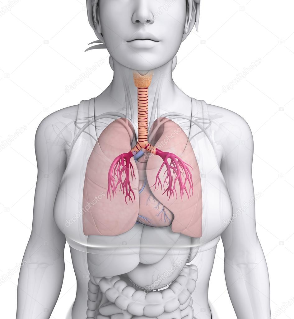 anatomía femenina garganta — Fotos de Stock © pixdesign123 #55652659