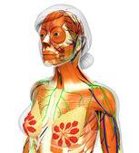 ženské svaly anatomie