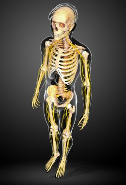 Male skeleton and nervous system artwork