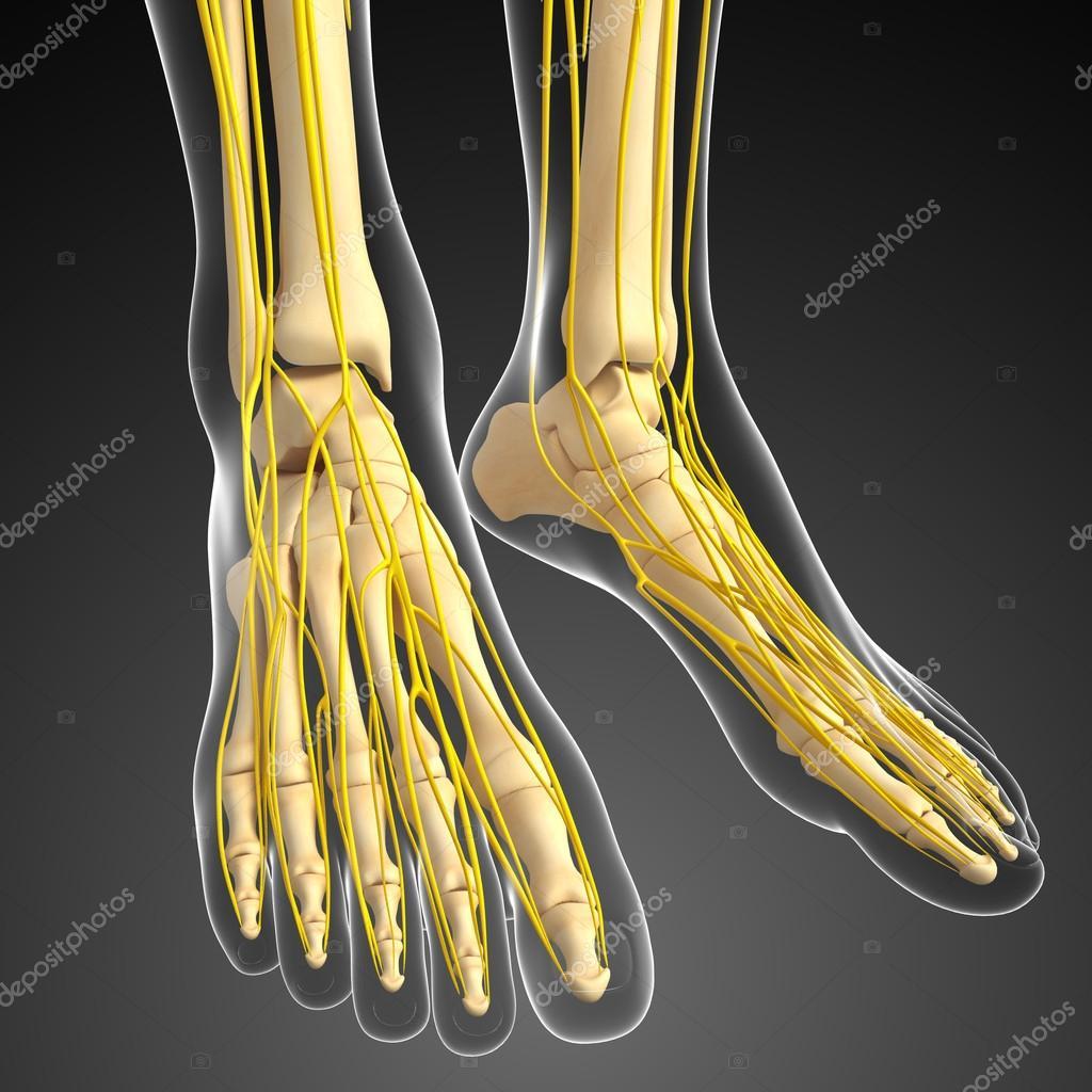 Sistema nervioso y los pies arte de esqueleto — Foto de stock ...