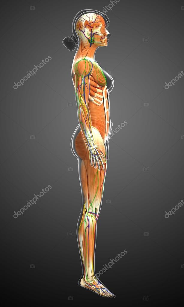 weibliche Muskeln Anatomie — Stockfoto © pixdesign123 #81631422