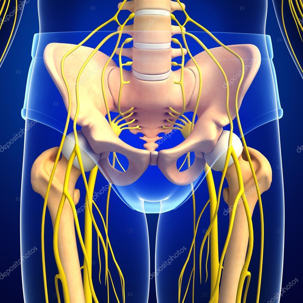 Sistema nervioso de la ilustración esqueleto pélvico — Fotos de ...