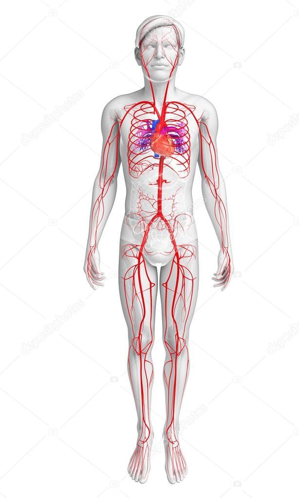 Sistema arterial varones — Fotos de Stock © pixdesign123 #81631644