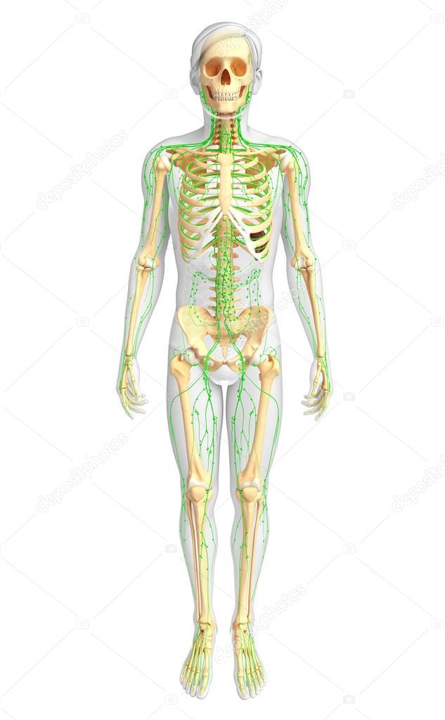 Lymphsystem männliche Skelett Artwork — Stockfoto © pixdesign123 ...