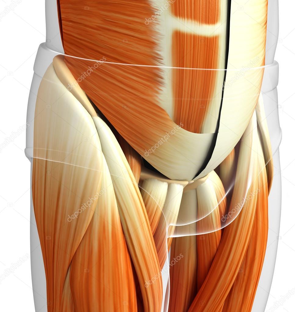 male pelvic muscles anatomy — Stock Photo © pixdesign123 #81634338