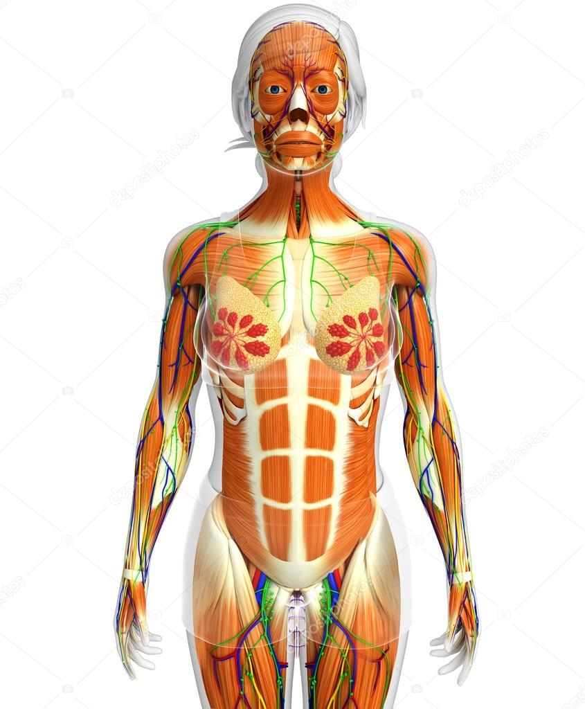 weibliche Muskeln Anatomie — Stockfoto © pixdesign123 #81634426