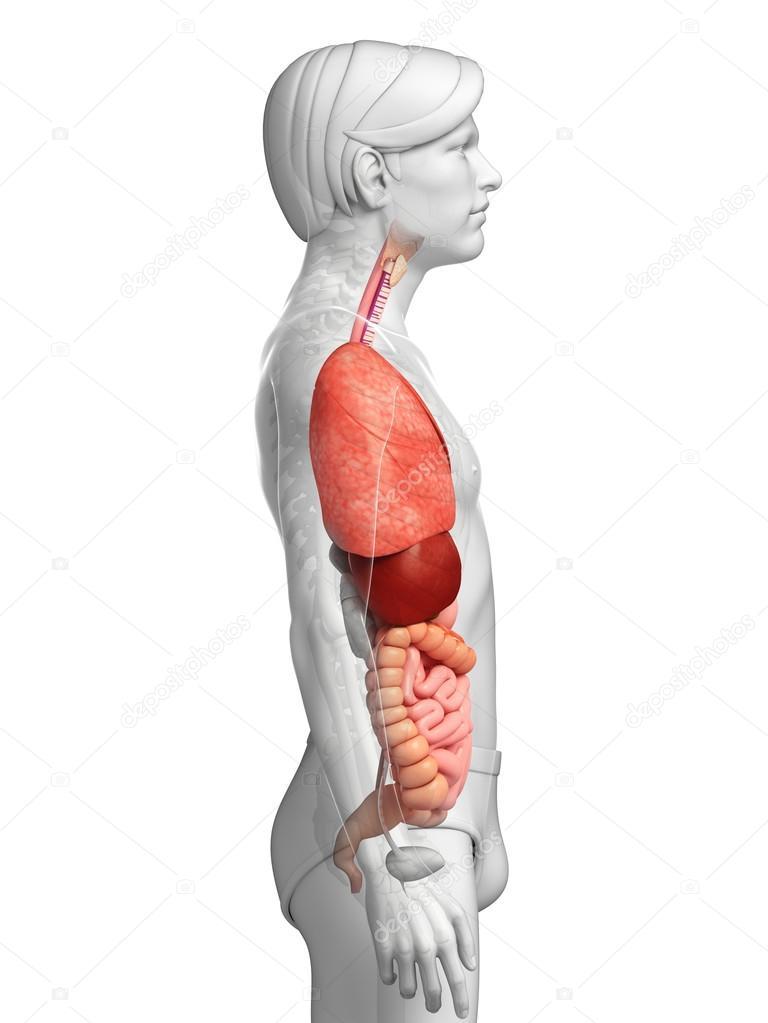 Fantastisch Verdauungssystem Wichtige Organe Fotos - Anatomie und ...