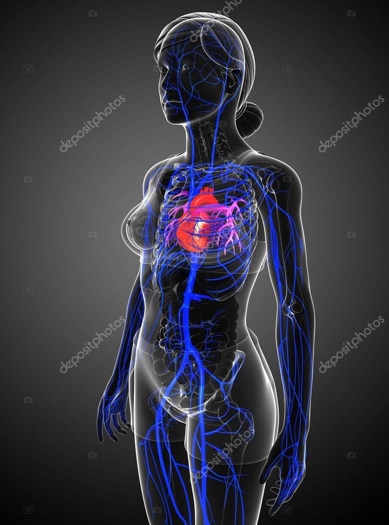 Menschliches Herz Anatomie — Stockfoto © pixdesign123 #81635062