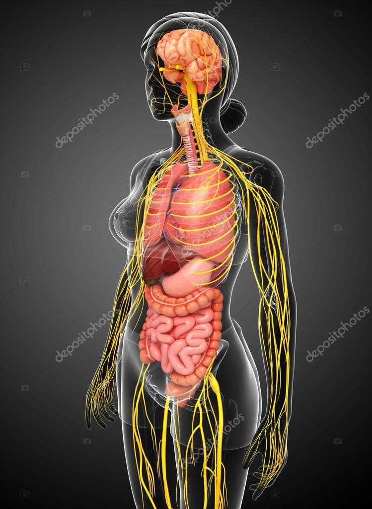 Weiblichen Körper von Nervensystem und Verdauungssystem artwork ...