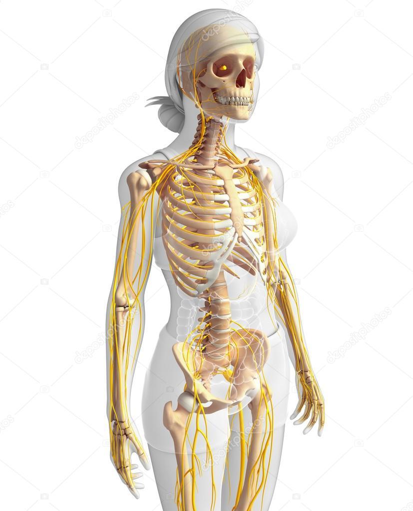 Nervensystem und weiblichen Skelett Kunstwerk — Stockfoto ...