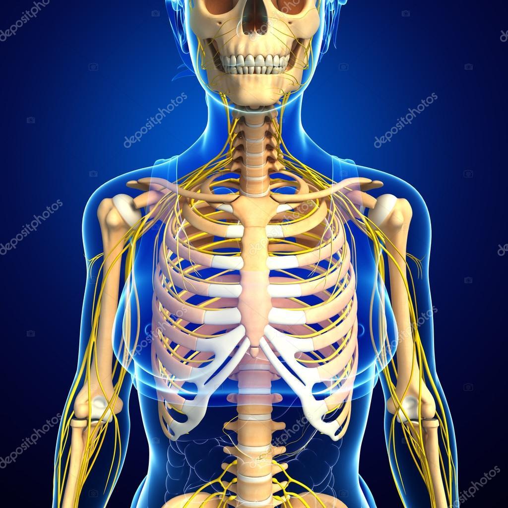 Mujer arte caja torácica y el sistema nervioso — Fotos de Stock ...