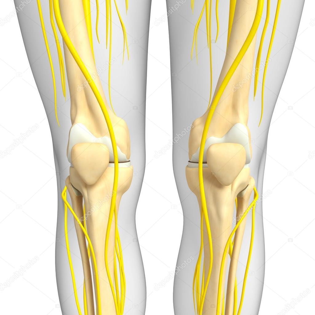 Arte esquelético sistema nervioso y de la rodilla — Foto de stock ...