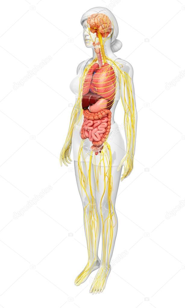 Esqueleto femenino con nervioso y sistema digestivo arte — Foto de ...