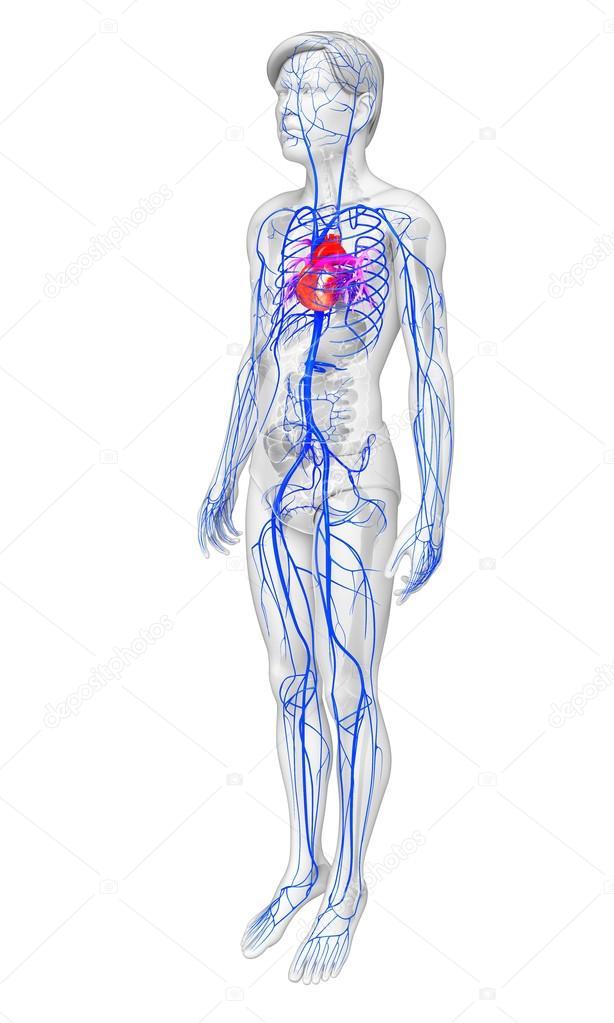 Nett 3d Herzanatomie Zeitgenössisch - Menschliche Anatomie Bilder ...