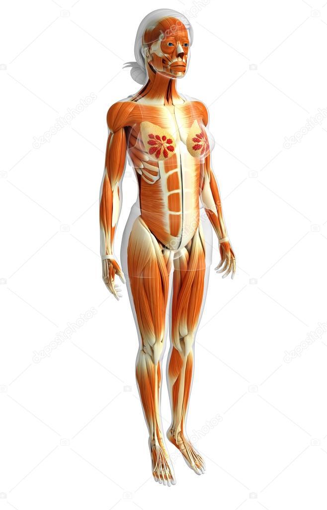 Anatomía de los músculos de la mujer — Foto de stock © pixdesign123 ...