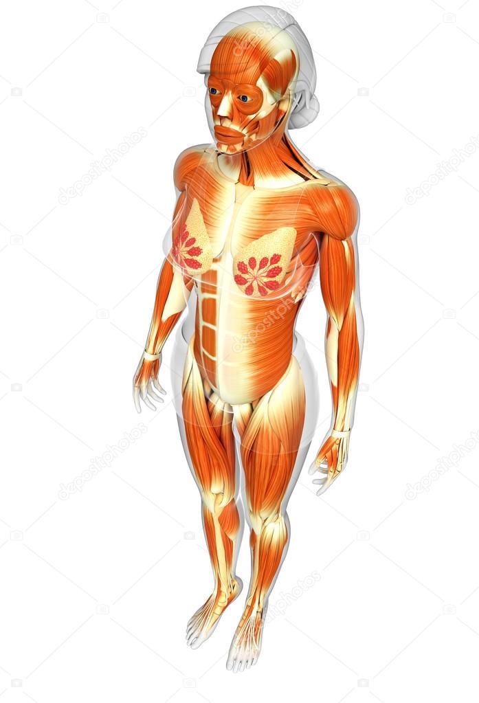 weibliche Muskeln Anatomie — Stockfoto © pixdesign123 #81640046