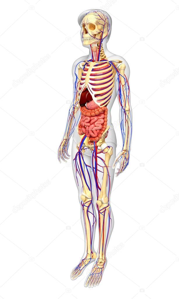 Männlich, Skelett, Verdauung und Kreislauf-system — Stockfoto ...