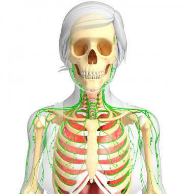 Lymphatic, skeletal and respiratory system of Female body artwor