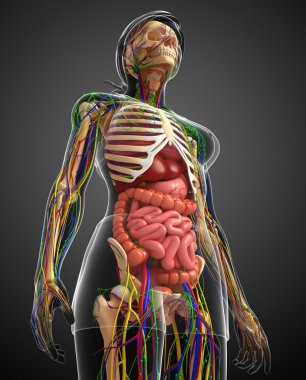 Lymphatic, skeletal, nervous and circulatory system of female bo